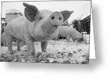 Close View Of A Young Pig In A Snowy Greeting Card