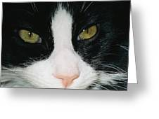 Close View Of Black And White Tabby Cat Greeting Card