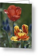 Close View Of Blossoming Tulips Greeting Card