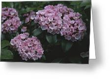 Close View Of Flowering Mountain Laurel Greeting Card