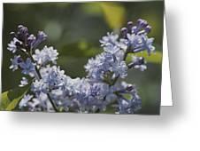 Close View Of Hyacinth Lilacs Syringa Greeting Card