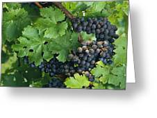 Close View Of Red Grapes On The Vine Greeting Card