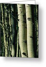 Close View Of Several Aspen Tree Trunks Greeting Card