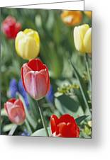 Close View Of Spring Tulips In Bloom Greeting Card