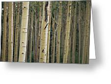 Close View Of Tree Trunks In A Stand Greeting Card