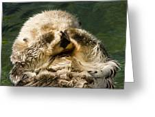 Closeup Of A Captive Sea Otter Covering Greeting Card