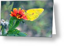 Clouded Sulphur Butterfly Square Greeting Card