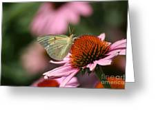 Clouded Sulphur Greeting Card