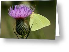 Cloudless Sulfur Butterfly On Bull Thistle Wildflower Greeting Card