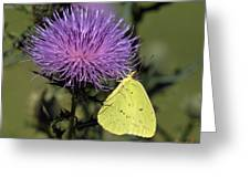 Cloudless Sulphur Butterfly Din159 Greeting Card