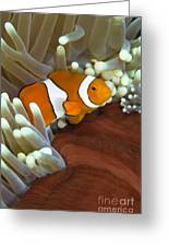 Clown Anemonefish In Anemone, Great Greeting Card