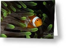 Clownfish In Green Anemone, Indonesia Greeting Card
