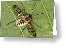 Cluster Fly Killed By Parasitic Fungus Greeting Card