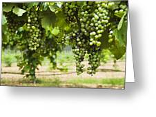 Clusters Of Grapes On The Vine At Fall Greeting Card