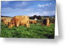 Co Antrim, Ireland Highland Cattle Greeting Card