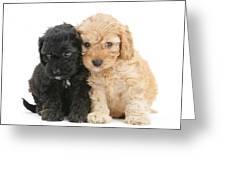 Cockerpoo Puppies Greeting Card