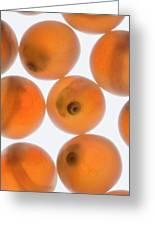 Coho Salmon Oncorhynchus Kisutch Eggs Greeting Card