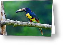 Collared Aracari Greeting Card
