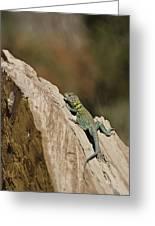 Collared Lizard Greeting Card