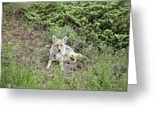 Colorado Coyote Greeting Card