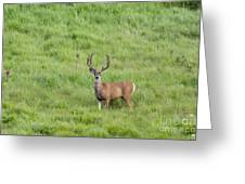 Colorado Deer Greeting Card