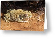 Colorado River Toad Greeting Card