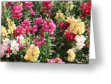 Colorful Snapdragons In San Antonio Greeting Card