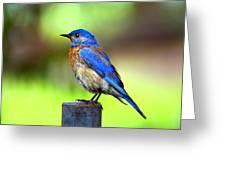 Colorful - Western Bluebird Greeting Card