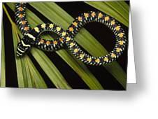 Colubrid Snake Boiga Sp A Flying Snake Greeting Card
