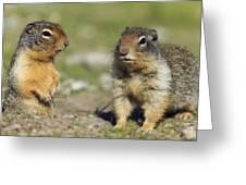 Columbian Ground Squirrels, Banff Greeting Card