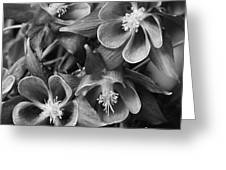 Columbine In Black And White Greeting Card