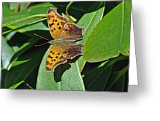 Comma Anglewing Butterfly - Polygonia C-album Greeting Card