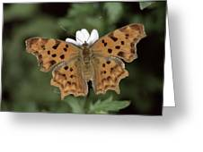 Comma Polygonia C-album, Germany Greeting Card