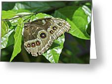 Common Blue Morpho 2917 Greeting Card