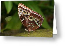 Common Blue Morpho Greeting Card