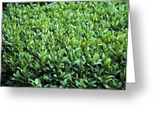Common Box (buxus Sempervirens) Greeting Card