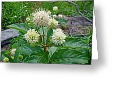 Common Buttonbush - Cephalanthus Occidentalis Greeting Card