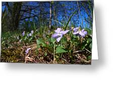 Common Dog-violet Greeting Card