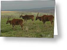 Common Eland 3 Greeting Card