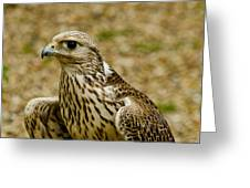 Common Female Kestrel Greeting Card