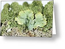 Common Greenshield Lichen Greeting Card by Ted Kinsman