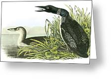 Common Loon Greeting Card by John James Audubon