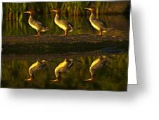 Common Mergansers On Rock Reflecting Greeting Card