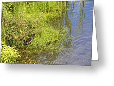 Common Moorhen At The Waters Edge Greeting Card
