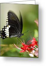 Common Mormon Butterfly Greeting Card