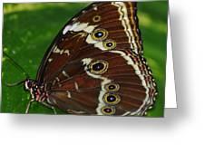 Common Morpho Greeting Card