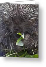 Common Porcupine Erethizon Dorsatum Greeting Card