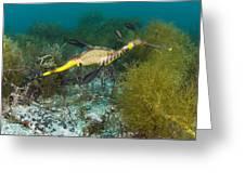 Common Sea Dragon Greeting Card