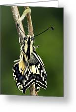 Common Swallowtail Butterfly Greeting Card