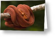 Common Tree Boa Corallus Hortulanus Greeting Card